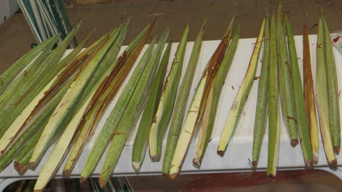 How to choose a Lulav